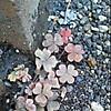 Purple_leaf_creeping_woodsorrel2_2