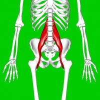 Psoas_major_muscle